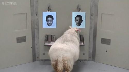 Một con cừu nhớ lại khuôn mặt của cựu Tổng thống Mỹ Barack Obama. Ảnh: eveningexpress.co.uk