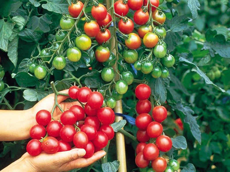 Mô hình trồng cà chua bi theo tiêu chuẩn VietGAP được xác định trong nhiệm vụ khoa học công nghệ tỉnh Kon Tum 2018.