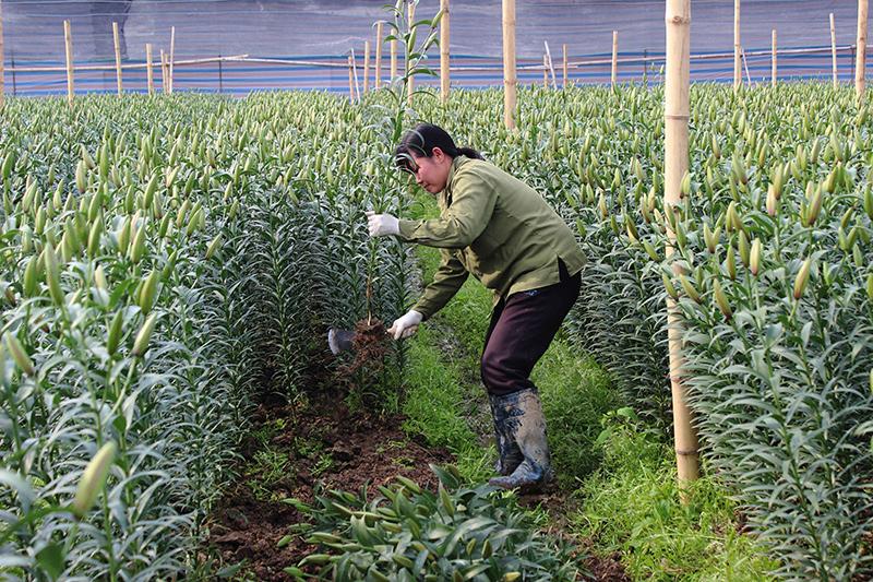 Mô hình trồng hoa cao cấp được chuyển giao tới các hộ nông dân.