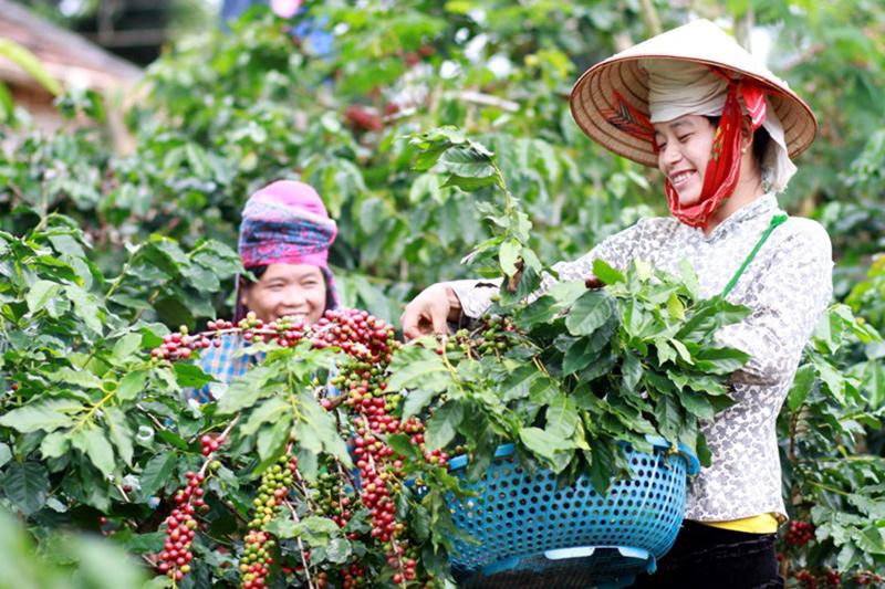 Người dân thu hoạch càphê ở Sơn La. Ảnh: Minh Anh