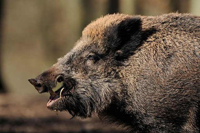 Mỗi năm có khoảng 500.000 con lợn rừng bị săn bắn ở Đức. Ảnh: Guardian.
