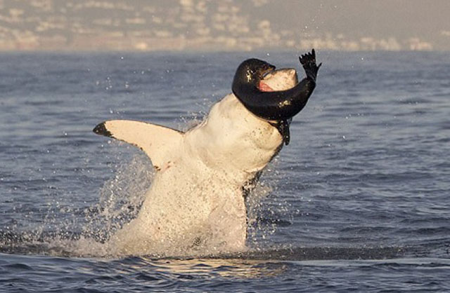 Hải cẩu lông nâu non cố vùng thoát khỏi hàm cá mập. Ảnh: William Buchheit.