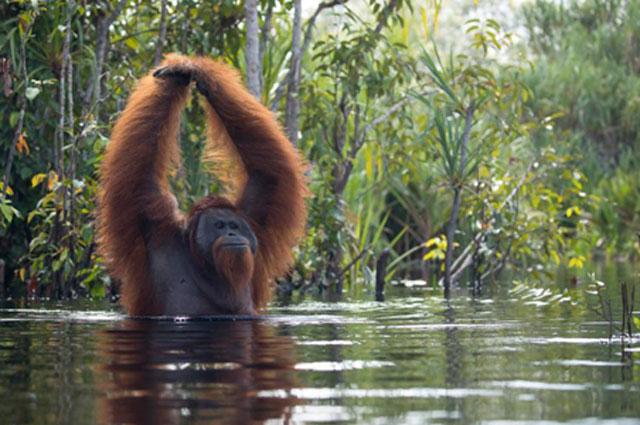 Đười ươi giơ cao hai tay khi đi dưới nước. Ảnh: Jayaprakash Joghee Bojan.