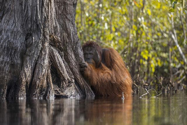 Bức ảnh đười ươi nép mình sau gốc cây khi chuẩn bị sang sông. Ảnh: Jayaprakash Joghee Bojan.