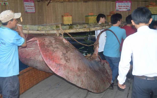 Cá đuối nặng 220 kg được ngư dân đánh bắt. Ảnh: E.X.