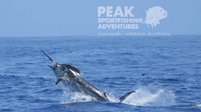 Con cá cờ xanh nặng tới 493 kg