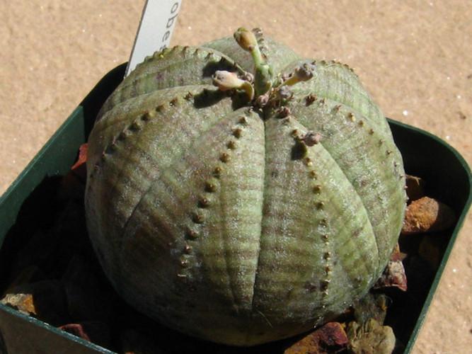 Cây bóng chày có nguồn gốc từ Nam Phi với tên khoa học là Euphorbia obesa. Ảnh Khoahocphattrien.