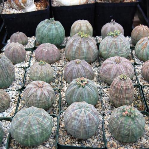 Đặc biệt, ở cây bóng chày, hoa đực và hoa cái mọc trên những cây khác nhau. Ảnh Seedscactus.