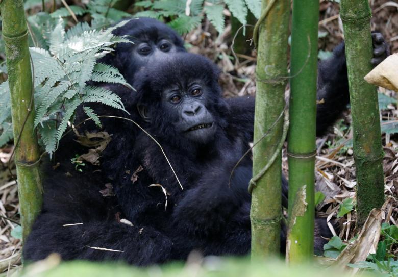 Đây là nơi lý tưởng cho du khách yêu thích mạo hiểm và chiêm ngưỡng loài khỉ đột nổi tiếng của Rwanda.