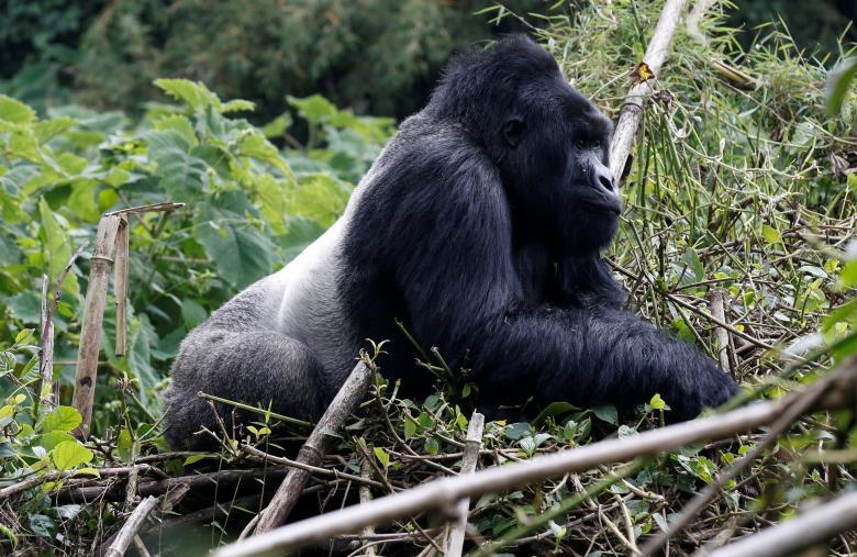 Khỉ đột Gihishamwotzi.