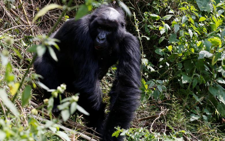 Khỉ đột Big Ben, 12 tuổi, dạo chơi bên trong vườn quốc gia.