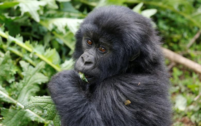 Ông Eugene Mutangana, người đứng đầu bộ phận bảo tồn ở Hội đồng Phát triển Rwanda (RDB), cho hay kể từ năm 2005, trung bình mỗi năm quốc gia Đông Phi này đón 18 con khỉ đột núi chào đời.