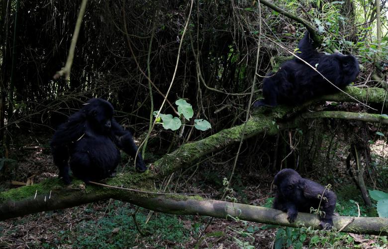 """Theo các nhà tổ chức tour, giới chức Rwanda đã tăng gấp đôi giá giấy phép tham gia chương trình """"Gorillaz trekking"""" (đi bộ khám phá đời sống tự nhiên của khỉ đột) từ 750 USD/giấy phép lên 1.500 USD/giấy phép vào năm ngoái."""