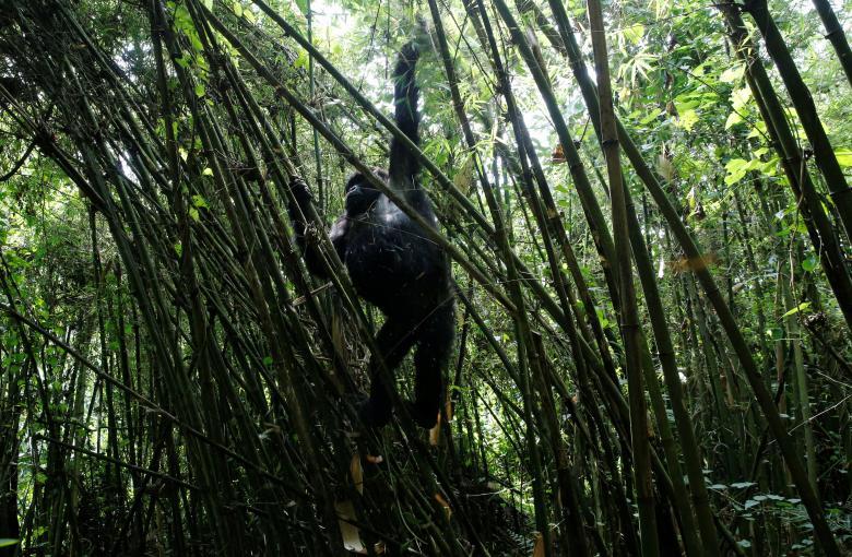 Vườn quốc gia các núi lửa gần Kinigi, phía Tây Bắc Rwanda được ví như ngôi nhà của loài khỉ đột núi cũng như nhiều loài động vật có vú khác.