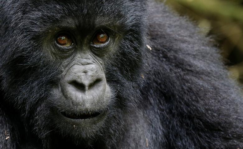 Theo một khảo sát toàn cầu mới nhất được thực hiện vào năm 2010, có khoảng 480 cá thể khỉ đột núi còn sống trên thế giới, chủ yếu trong các vườn quốc gia ở khu vực biên giới giữa Rwanda, Uganda và CHDC Congo.