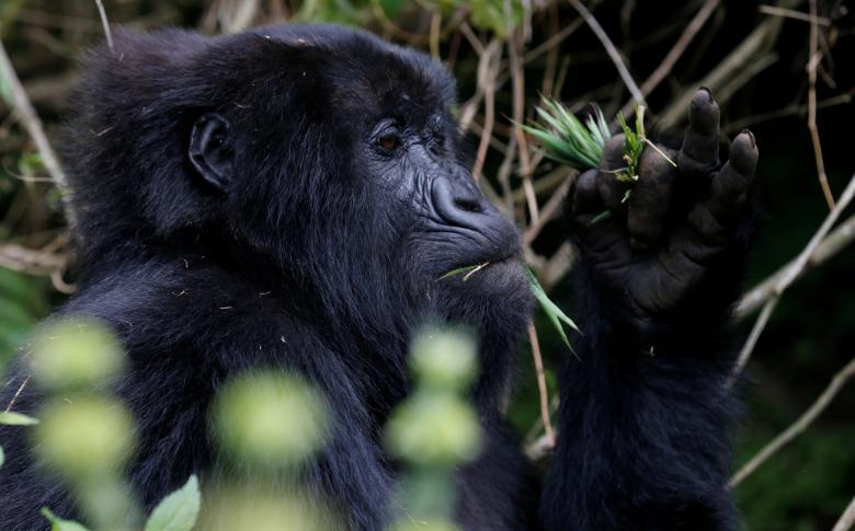 Rwanda có các kế hoạch đầy tham vọng nhằm phát triển ngành du lịch với nguồn thu không nhỏ từ việc tổ chức các tour ngắm khỉ đột phục vụ du khách nước ngoài.