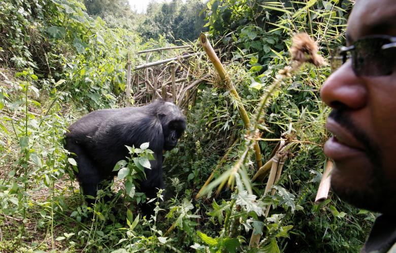 Tuy có chính sách khuyến khích, dịch vụ này ở Rwanda không được phát triển rầm rộ. Với lý do đảm bảo môi trường sống tốt nhất cho khỉ đột núi cũng như bảo vệ chúng khỏi nạn săn bắt, số lượng khách tham quan được giới hạn chặt chẽ.