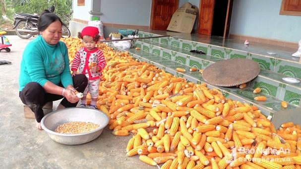 Gia đình bà Trần Thị Giá ở xóm Châu Thành 2, xã Tây Thành - một trong những hộ chăn nuôi gà đồi có quy mô, sử dụng phụ phẩm nông nghiệp để chăn nuôi gà. Ảnh: Thái Dương