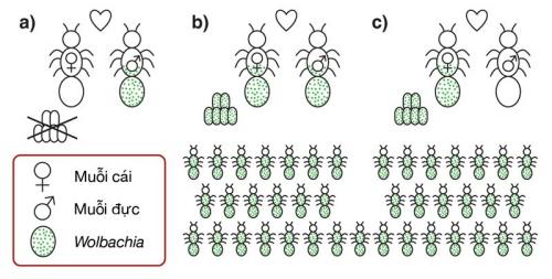 Cơ chế lan truyền vi khuẩn Wolbachia trong quần thể muỗi vằn.
