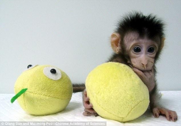 Chú khỉ Hoa Hoa ra đời cách đây 6 tuần.