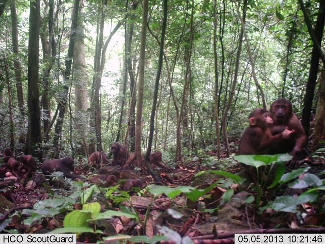 Khỉ mặt đỏ có tên khoa học Macaca arctoides chụp được qua bẫy ảnh ở rừng Động Châu-Khe Nước Trong. (Ảnh: Mạnh Thành/TTXVN)