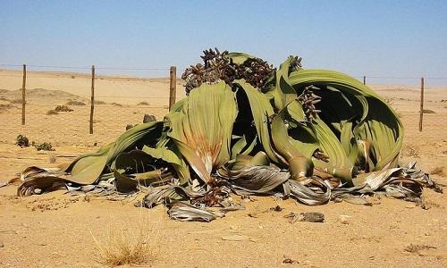 Một cây bách lan có tuổi thọ khoảng 1.500 năm tuổi. Ảnh: Wikipedia.