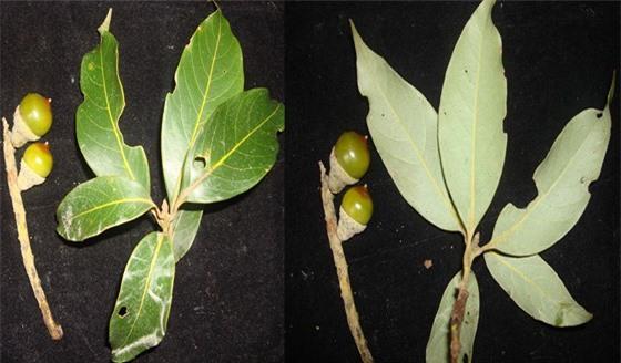 Phát hiện loài thực vật mới ở Vườn Quốc gia Vũ Quang ảnh 3