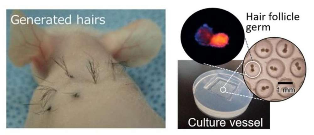 Lông mọc lại trên chuột. Ảnh: National Yokohama University/Biomaterials