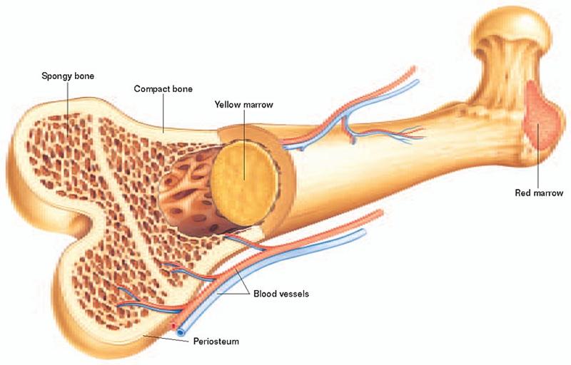 Xương người cứng hơn một số loại thép. Phần xương cứng nhất trong cơ thể người là xương hàm. Bàn chân chiếm 1/4 số xương trong cơ thể người. Ảnh: Fbresearch.
