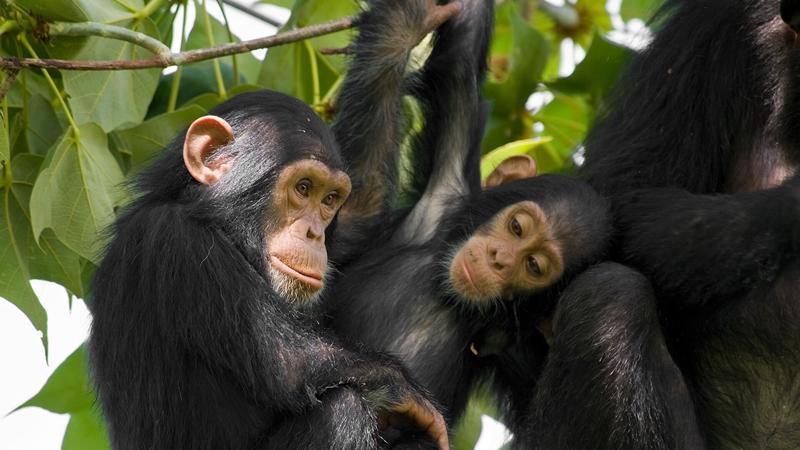 Số sợi lông trên mỗi diện tích cơ thể người ngang bằng với một con tinh tinh. Ảnh: San Diego Zoo Animals.