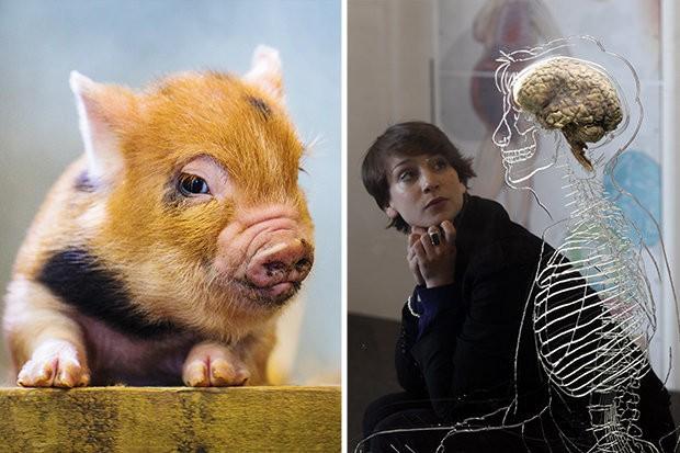 Não lợn vẫn sống sau 36 giờ bị cắt lìa khỏi cơ thể.
