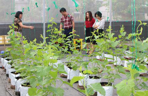 Dưa lê Hàn Quốc, dưa vân lưới, dưa thơm, cà chua cherry được tạo ra trong nhà màng cải tiến. Ảnh sở kHC&N Vĩnh Phúc