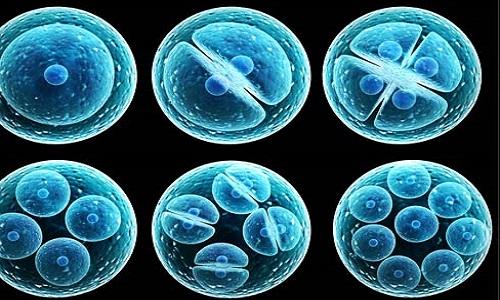 Phôi thai tạo từ tế bào gốc được cấy vào chuột. Ảnh minh họa: Labiotech.