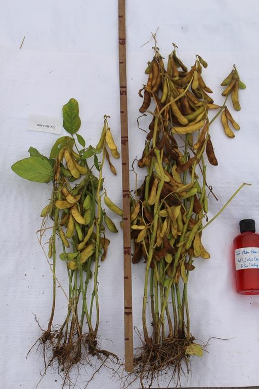 Cây đậu tương dùng công nghệ nano (ủ hạt giống, bón phân) so với cây đối chứng. Ảnh: Phạm Phượng