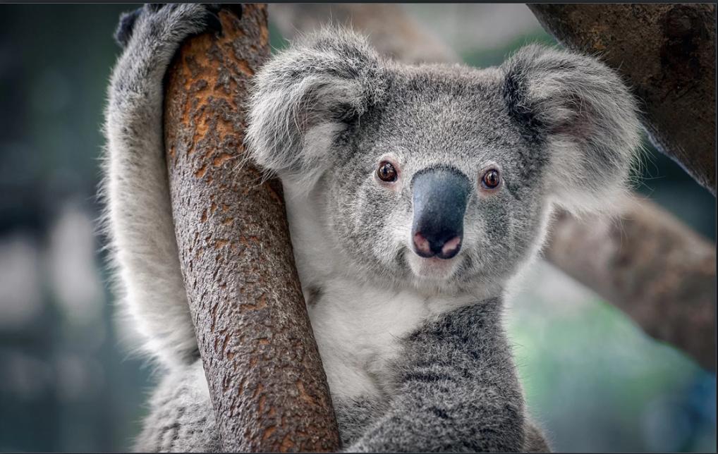 Bệnh Chlamydia đang lây lan ở loài gấu túi Úc không phải là vấn đề để đem ra làm trò cười. Ảnh: Shutterstock