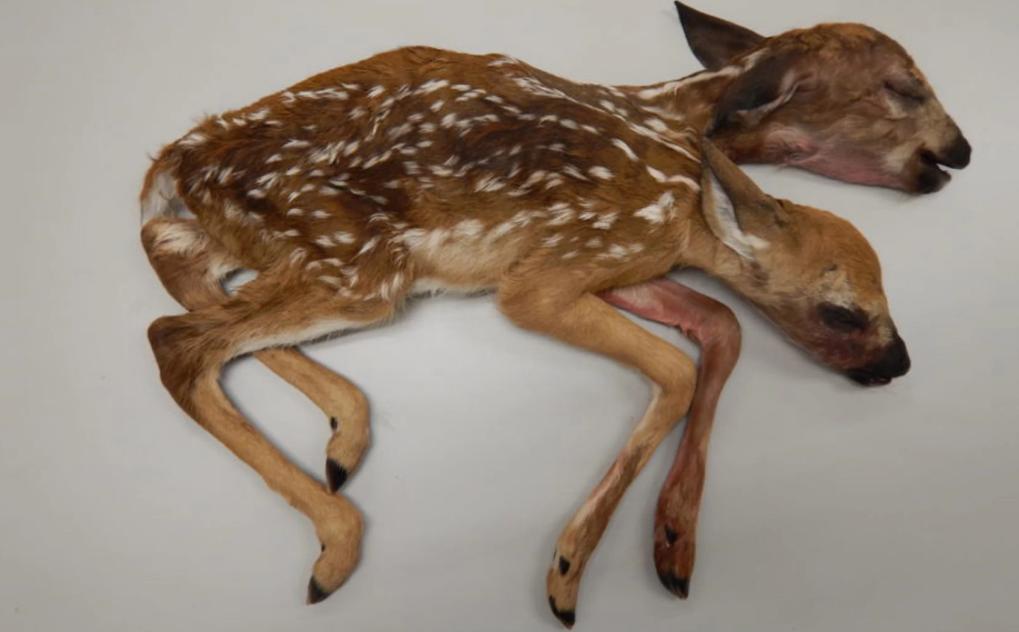 Đây là trường hợp hai hươu con song sinh dính liền cơ thể đầu tiên, có đủ hai đầu, hai tim và các đốm trên lông phát triển đầy đủ. Ảnht: Gino D'Angelo và các cộng sự/ Đại học Georgia