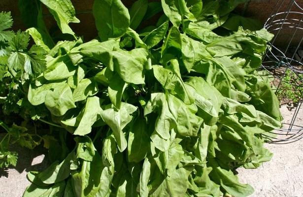 Loại rau chứa nồng độ oxalat cao - Ảnh: Flickr