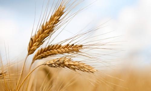 Nồng độ CO2 trong khí quyển tăng cao khiến một số loại cây lương thực chính có hàm lượng protein thấp hơn. Ảnh: Đại học Harvard.