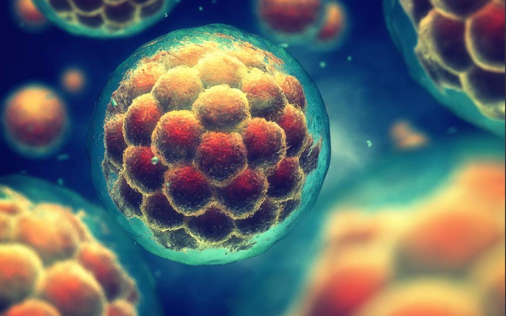 Phôi dâu – trạng thái ban đầu của phôi thai, được tạo thành từ một cụm tế bào. Ảnh: Shutterstock