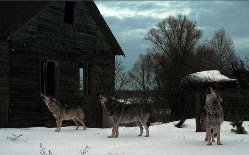 Loài sói xám ở khu vực cách ly quanh Chernobyl. Ảnh: Byshnev/iStock/Getty Images