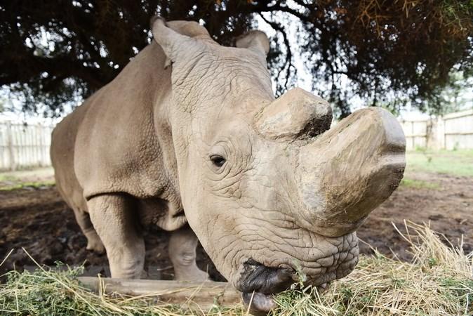 Chú tê giác trắng Sudan tại khu bảo tồn Ol Pejeta ở Kenya ngày 18/4/2015. (Nguồn: THX/TTXVN)