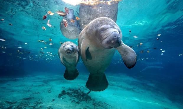 Hai mẹ con lợn biển ở Florida - Ảnh: The Guardian