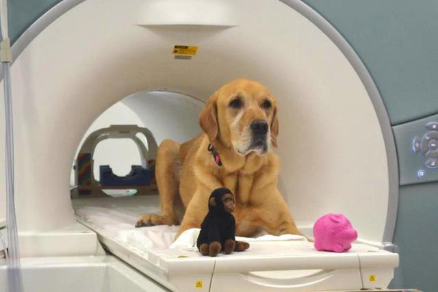 """Một đối tượng chó tham gia nghiên cứu, Eddie, cùng hai món đồ chơi """"khỉ"""" và """"lợn"""" được sử dụng trong nghiên cứu - Ảnh từ Gregory Berns/Emory"""