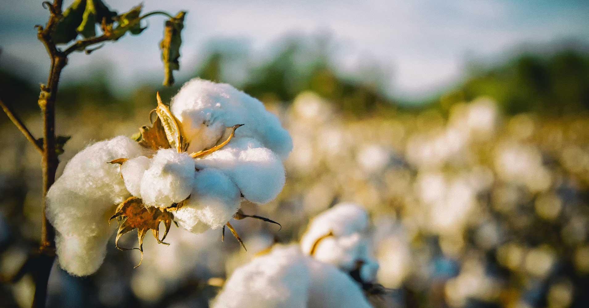 Loại bông biến đổi gene có hạt ăn được đã được Bộ Nông nghiệp Mỹ cho phép trồng. Ảnh: Futurism.