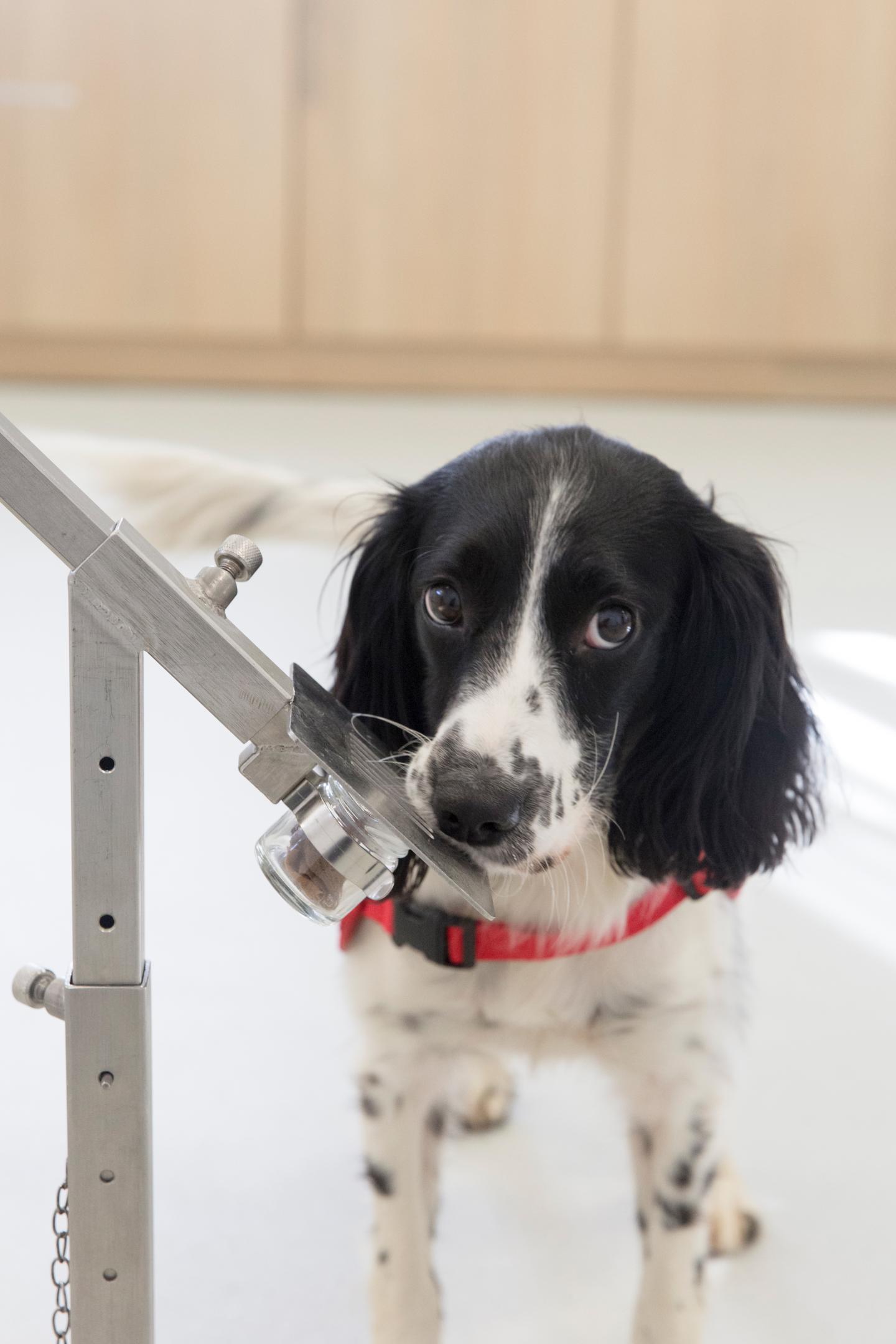 Cô chó Freya được huấn luyện để phát hiện bệnh sốt rét. Ảnh: Đại học Durham