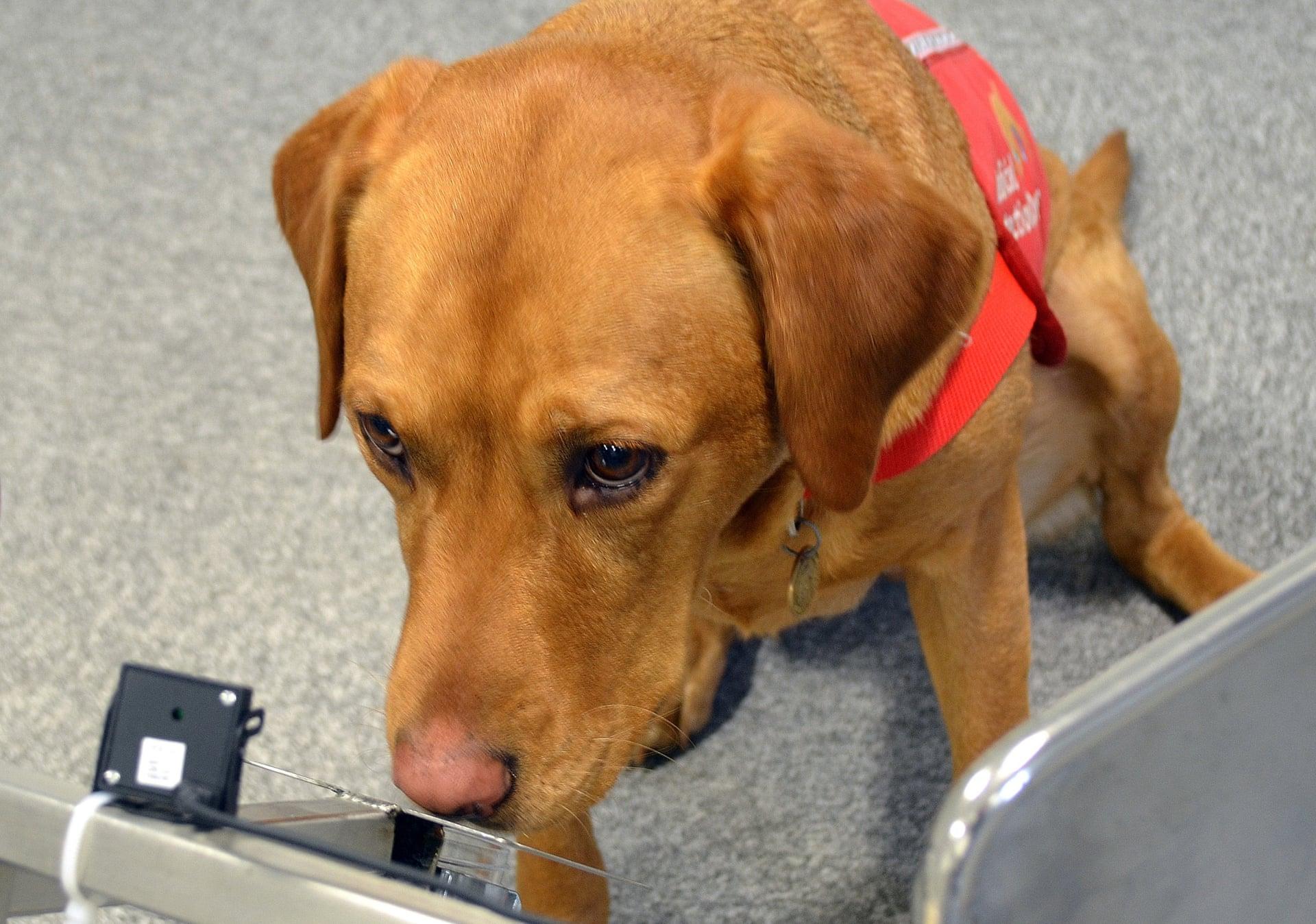 Chú chó giống tham gia vào thử nghiệm ung thư tuyến tiền liệt. Ảnh: Emma Jeffery / PA