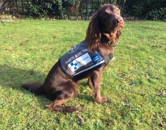 Coco, cô chó được huấn luyện để phát hiện những biến đổi của bệnh tiểu đường. Ảnh: Hypo Hounds