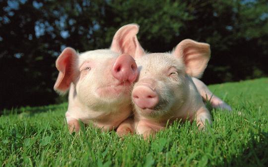Một ngày không xa những chú lợn này sẽ cung cấp nội tạng để ghép tim cho con người - ảnh minh họa từ internet