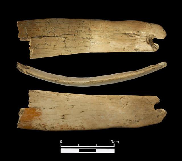 """Phần còn sót lại của """"vương miện"""" ngà voi ma mút 50.000 năm tuổi mới được tìm thấy."""