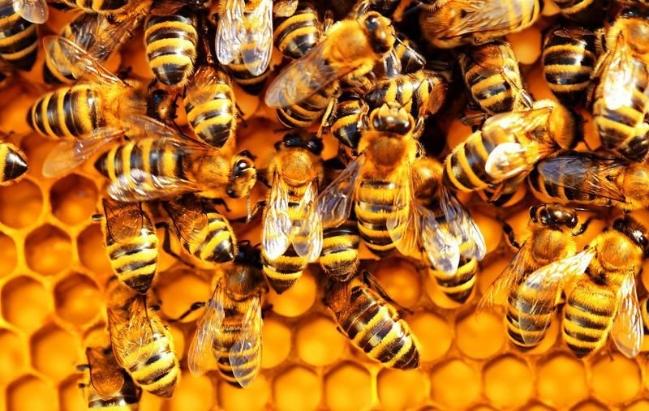 Các nhà nghiên cứu tin rằng trong tương lai có thể cải tiến loại vắc xin ngừa thối ấu trùng châu Mỹ để giúp bảo vệ ong mật khỏi các bệnh khác - Ảnh : Helsinki Innovation Services